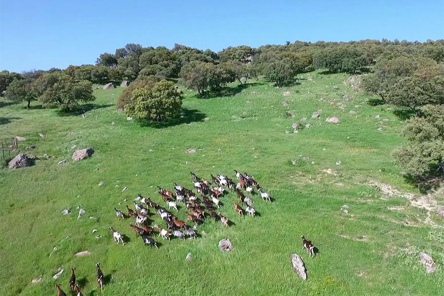Cabras Payoyas de Villaluenga del Rosario
